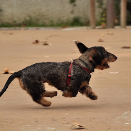 by Eduardo Magalhães - Animals - Dogs Running