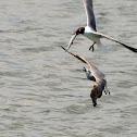 Laughing Sea Gull
