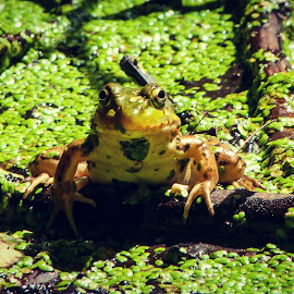 by Judy Griffith - Animals Amphibians