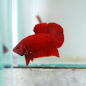 Plakat Betta or Fighting fish