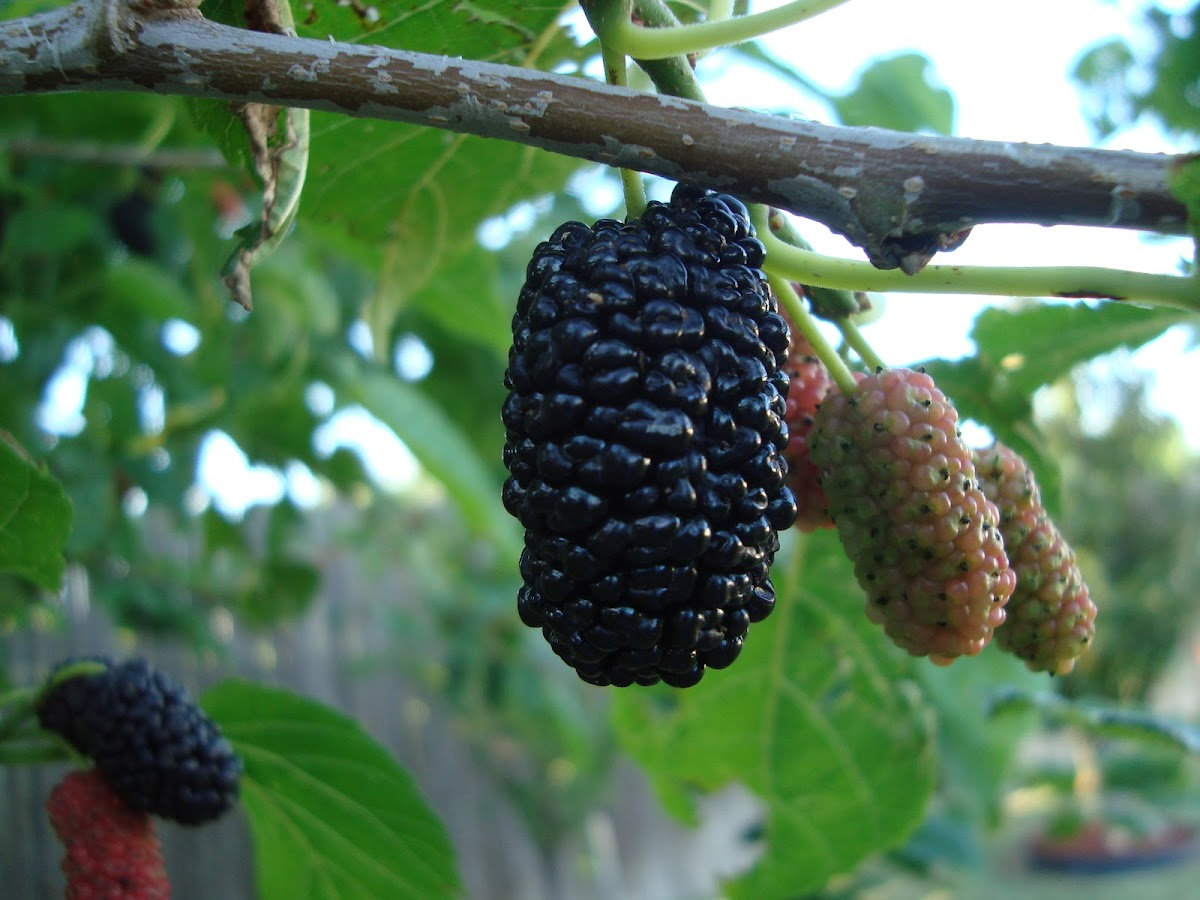 Texas Mulberry
