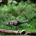 Ibis Verde- Green Ibis