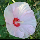 Swirl Hardy Hibiscus