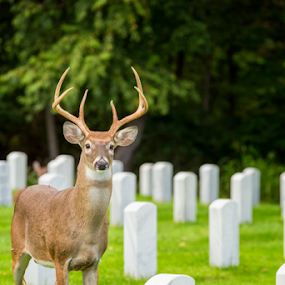 Antlers In The Graveyard by Bill Tiepelman - City,  Street & Park  Cemeteries ( cemetery, headstones, graveyard, animal, deer )