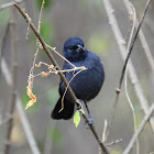 Flycatcher - Northern Black Flycatcher