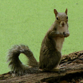 Who me? 2 by Zeralda La Grange - Animals Other ( #brown, #nature, #animal, #green, #squirrel,  )