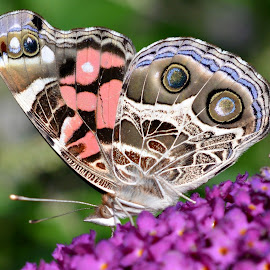 Loving the nector by Isabelle VM - Animals Insects & Spiders ( butterfly, butterfly bush, insect, animal, butterfy )