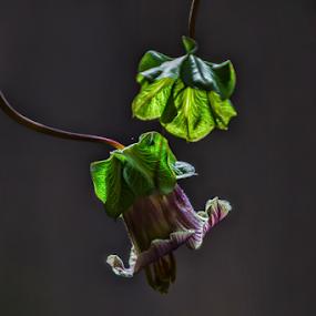 Flower with leavaes by Cristobal Garciaferro Rubio - Flowers Flower Buds