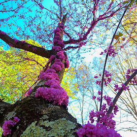 Red Bud Tree in North Carolina by Tyrell Heaton - Instagram & Mobile iPhone ( red bud tree, purple, north carolina )