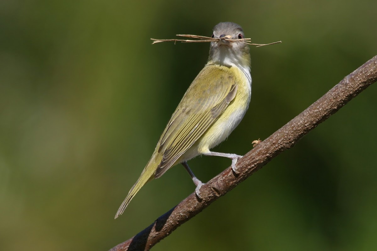 Yellow-green vireo