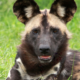 African Wild Dog  by Gavin Black - Animals Other Mammals