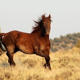 Mustang Stallion by Kathy Tellechea - Animals Horses ( stallion, wild, mustang, nature, sorrel, horses, grass, windy, mane, male, outdoors, running )