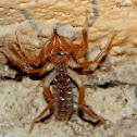 Windscorpion/Solifugid