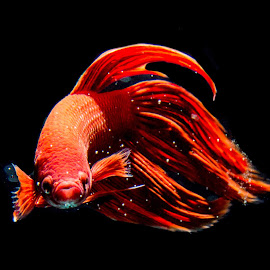 Don't mess with me by Christopher Imperial - Animals Fish ( betta, fish, fightingfish )