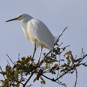 Snowy Egret by Ed Hanson - Animals Birds ( bird, nature, white, branches, close-up )