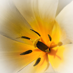 Tulip No 5 by Hans-Börje Jansson - Flowers Single Flower ( macro, tulip, plants, flowers, close-up )