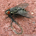 Flesh Fly - female