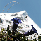 The colorful Alpine Flowersie icon