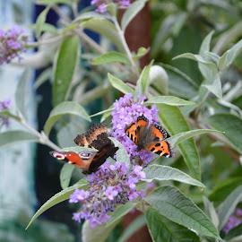 Butterflies by Jeff Lehmann - Novices Only Wildlife ( orange butterflies, butterfly, butterflies, purple flowers, flowers, 2 butterflies,  )