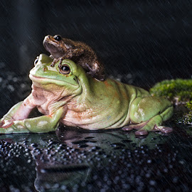 Enjoying the rain with buddy by Nikon Guy - Animals Amphibians ( water, buddy, macro, frog, friends forever, rain )