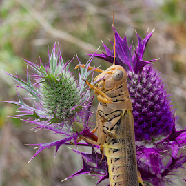 Purple and Yellow by Mya Dee - Animals Insects & Spiders ( nature, purple, green, weed, yellow, pineapple, flowers, grasshopper )