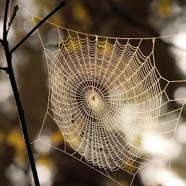Web and sun rays II by Milan Horejsi - Nature Up Close Webs ( macro, water drops, drop, nature up close, spider )