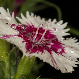 Dianthus by Ken Mickel - Novices Only Flowers & Plants ( macro, macro flower, nature, dianthus, flowers, flower )
