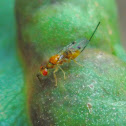 Torymid wasp