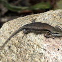 Shaded-litter rainbow-skink