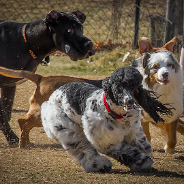 Biscuit Acres Rally by Ron Meyers - Animals - Dogs Running