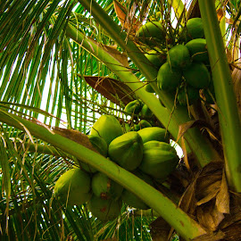 by Aires Spaethe - Nature Up Close Trees & Bushes ( palm, palm tree, coconut, florida, beach, tropics )