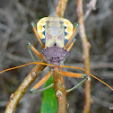 Common Assassin Bug