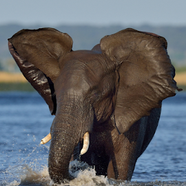 Aggression by Tobie Oosthuizen - Animals Other Mammals ( botswana, chobe national park, elephant, aggressive, bull )