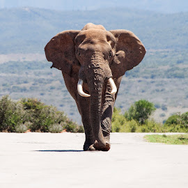 Make Way by John Phielix - Animals Other Mammals ( elephant, bush, road, large, mammal, animal )