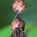 Bolas spider