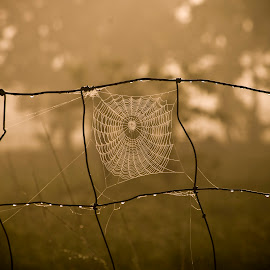 Morning Catch by Barry Blaisdell - Nature Up Close Webs ( fence, meadow, spider, web, morning dew, sunrise, dew drops, insect, morning, spider web )