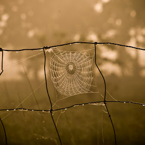 Morning Catch by Barry Blaisdell - Nature Up Close Webs ( fence, meadow, spider, web, morning dew, sunrise, dew drops, insect, morning, spider web,  )