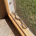 Peninsula ribbon snake