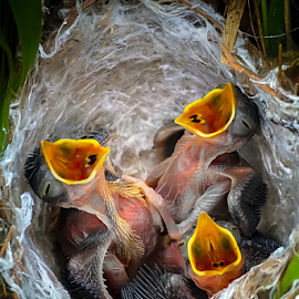 Baby Birds in Nest by Roy Husada - Animals Birds