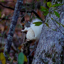 Squirrel Lunch by Buddy Boyd - Animals Other ( piebald, white, nut, ozarks, squirrel,  )