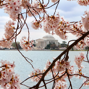 Cherry Blossoms & Jefferson 2 by Joe Proctor - City,  Street & Park  City Parks ( dc, washington, memorial, jefferson memorial, cherry blossom, tidal basin )