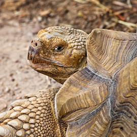 African Spurred Tortoise by Kenneth Keifer - Animals Reptiles ( shell, spurred, old, african, clothing, stare, armor, creatures, wildlife, slow-moving, beast, nature, zoo, slow, reptile, head, closeup, animal, eye, wild, vertebrate, largest, tortoise, spurs, zoology, reptilian )