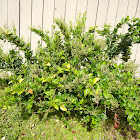 Chinese privet bush