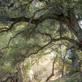 Path Through Oak Trees by Greg Head - Novices Only Landscapes ( light rays, green, path, trees, leaves )