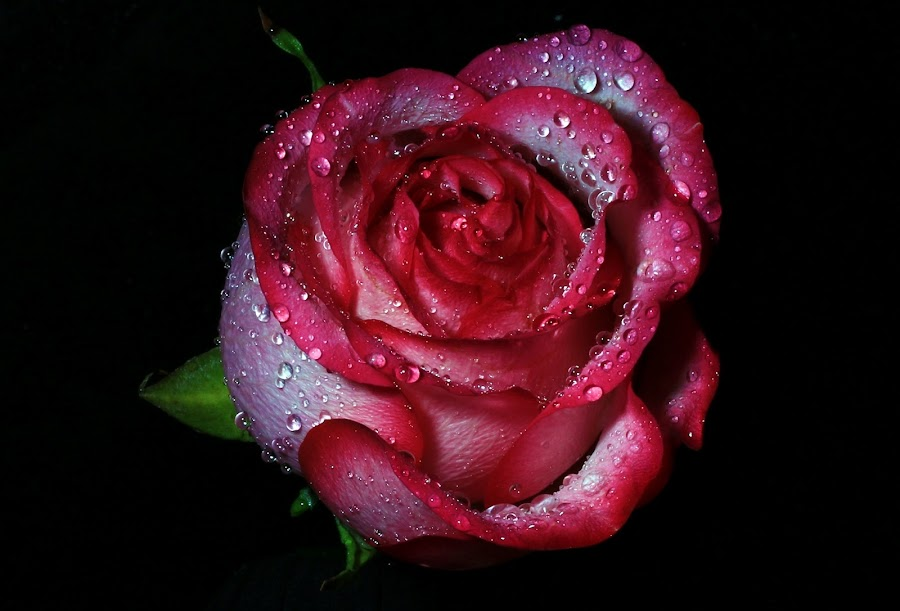 Beauty of Roses by Ak Black - Nature Up Close Flowers - 2011-2013 ( love, rose, wow, nature, roses, pink, beauty, romance )