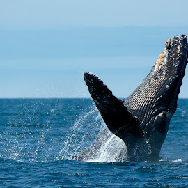 Humpback Whale breaching by Wade Tregaskis - Animals Sea Creatures ( humpback, barnacles, breaching, fin, whale )