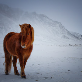 Icelandic horse  by Gunnlaugur Örn Valsson - Animals Horses ( horse iceland mountains pony  south winter )
