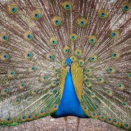 Peacock by Sono Nikonista - Animals Birds ( bird, pavone, d700, 70-200 2.8, peacock,  )