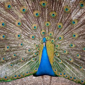 Peacock by Eric Niko - Animals Birds ( bird, pavone, d700, 70-200 2.8, peacock,  )