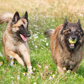 The chase is on by Mia Ikonen - Animals - Dogs Playing ( belgian shepherd tervueren, chasing, finland, fun, running )
